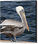 On The Edge - Brown Pelican Canvas Print by Kim Hojnacki