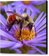 Orange-banded Bee Canvas Print by Rona Black