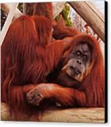 Orangutans Grooming Canvas Print by DiDi Higginbotham
