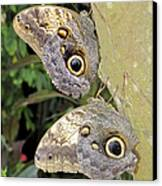 Owl Butterflies Canvas Print by Bob Slitzan
