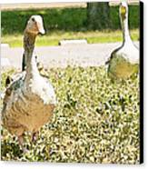 Pair Of Geese Canvas Print by Artist and Photographer Laura Wrede