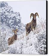 Pair Of Winter Rams Canvas Print by Mike  Dawson