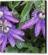 Passion Vine Flower Rain Drops Canvas Print by Rich Franco