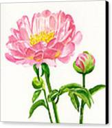 Peach Colored Peony With Buds Canvas Print by Sharon Freeman