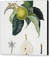 Pear Canvas Print by Pierre Antoine Poiteau