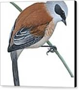 Penduline Tit  Canvas Print by Anonymous