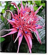 Pink Bromeliad Canvas Print by Andee Design