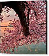 Pink Cherry Blossom Sunrise Canvas Print by Metro DC Photography