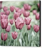 Pink Tulip Field Canvas Print by Frank Tschakert