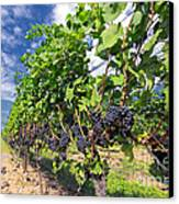 Pinot Noir Grapes In Niagara Canvas Print by Charline Xia