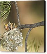 Plumbeous Vireo Begging Arizona Canvas Print by Tom Vezo