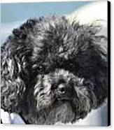 Poodle Canvas Print by Susan Leggett