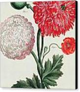 Poppy Canvas Print by Basilius Besler