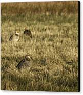 Prairie Chickens After The Boom Canvas Print by Thomas Young