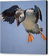 Puffin Landing Canvas Print by Eric Burgess-Ray