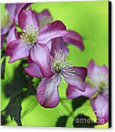 Purple Clematis Canvas Print by Sylvia Cook