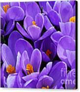 Purple Crocus Canvas Print by Elena Elisseeva