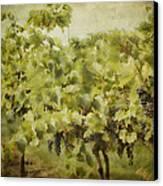 Purple Grapes On The Vine Canvas Print by Jeff Swanson