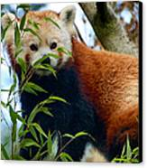 Red Panda Canvas Print by Trever Miller