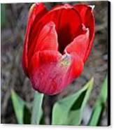 Red Tulip In Garden Canvas Print by Susan Leggett