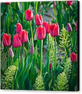 Red Tulips In Skagit Valley Canvas Print by Inge Johnsson