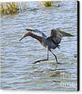 Reddish Egret Canopy Feeding Canvas Print by Louise Heusinkveld