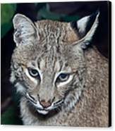 Reflective Bobcat Canvas Print by John Haldane