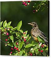 Robin And Berries Canvas Print by Mircea Costina Photography