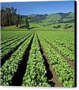 Romaine Lettuce Field Canvas Print by Craig Lovell