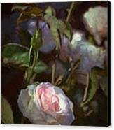 Rose 122 Canvas Print by Pamela Cooper