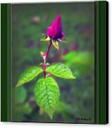 Rose Bud Canvas Print by Brian Wallace