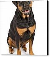 Rottweiler Dog With Drool Canvas Print by Susan Schmitz