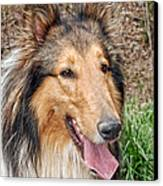 Rough Collie Canvas Print by Kenny Francis
