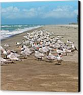Royal Terns On The Beach Canvas Print by Kim Hojnacki