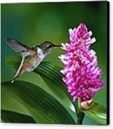 Scintillant Hummingbird Selasphorus Canvas Print by Michael and Patricia Fogden