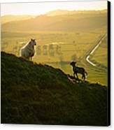 Scottish Sheep And Lamb Canvas Print by Mr Doomits