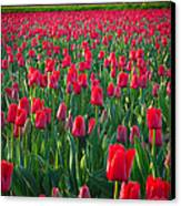 Sea Of Red Tulips Canvas Print by Inge Johnsson