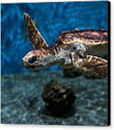 Sea Turtle 5d25083 Canvas Print by Wingsdomain Art and Photography