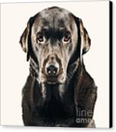 Serious Chocolate Labrador Canvas Print by Justin Paget