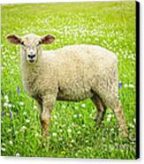 Sheep In Summer Meadow Canvas Print by Elena Elisseeva