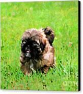 Shih Tzu Puppy Canvas Print by Darren Fisher