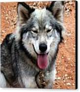 Siberian Husky With Blue And Brown Eyes Canvas Print by Doc Braham
