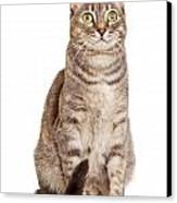 Sitting Gray Tabby Cat Canvas Print by Susan  Schmitz