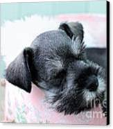 Sleeping Mini Schnauzer Canvas Print by Stephanie Frey