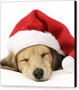 Sleeping Santa Puppy Canvas Print by Greg Cuddiford
