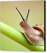 Snail On Green Stem Canvas Print by Johan Swanepoel