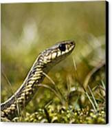 Snake Encounter Close-up Canvas Print by Christina Rollo