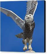 Snowy Owl Taking Flight Canvas Print by Everet Regal