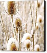 Snowy Thistle Canvas Print by The Forests Edge Photography - Diane Sandoval