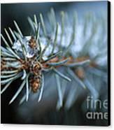 Sparkling Pine Canvas Print by Darren Fisher